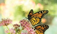 Butterflies resting on a pollinator plant.