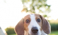Penny, a Treeing Walker Coonhound, enjoys late summer days at Chaska Place Dog Park.