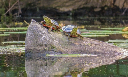 Two turtles on a rock in Red Rock Lake.