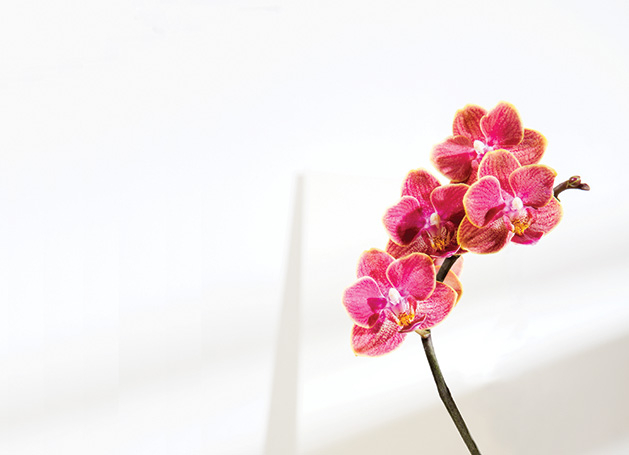 Pink flowers set against a white wall.