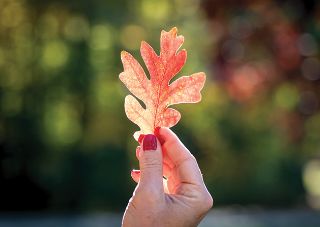 A woman holds a leaf from a white oak tree backlit by the sun.