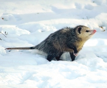 Opossum in an April snowstorm