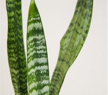 An indoor snake plant